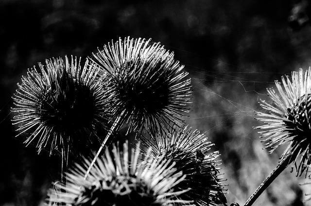 Diestel, Card, Medicinal Plant, Nature, Meadow, Close