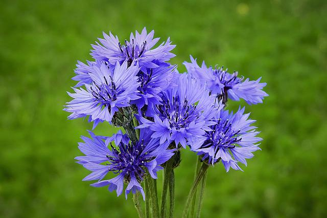 Cornflowers, Bouquet, Meadow, Blue, Nature