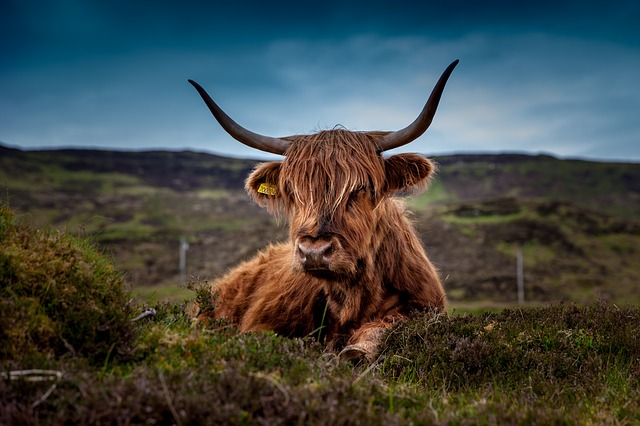 Beef, Scotland, Highland Beef, Cow, Ox, Meadow