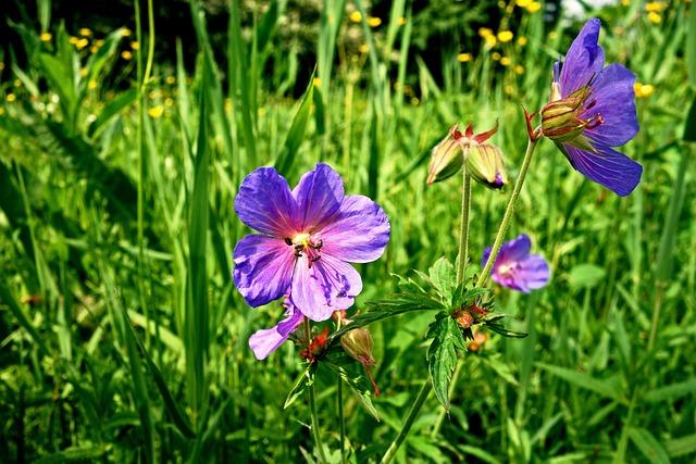 Meadow Cranesbill, Meadow Geranium, Geranium