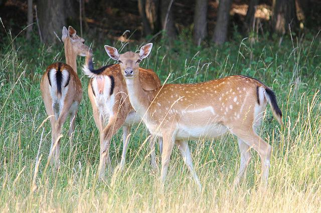 Deer, Forest, Meadow, Fallow Deer, Mammal, Nature