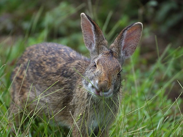 Hare, Ears, Mammal, Meadow, Grass, Head, Nature, Wild