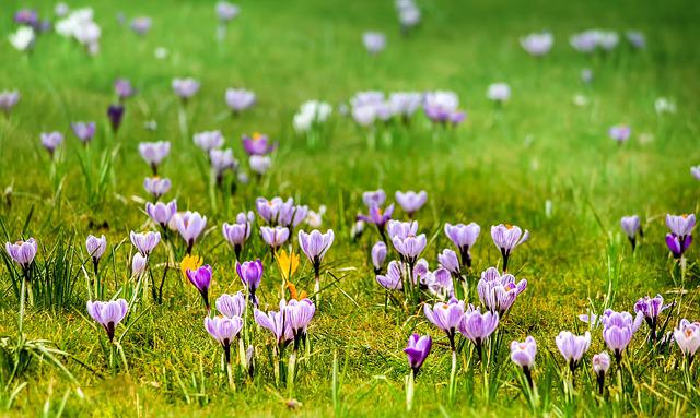 Grass, Meadow, Flower, Nature, Field, Crocus, Spring