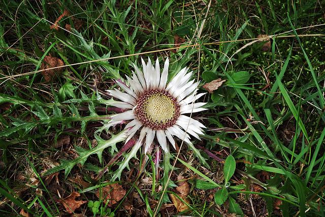 Stemless Carline Thistle, Flower, Flora, Meadow, Plants
