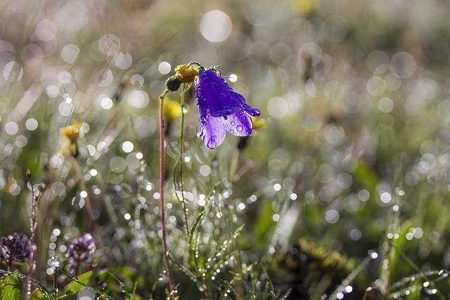 Flower, Bellflower, Meadow, Nature, Summer, Purple, Dew
