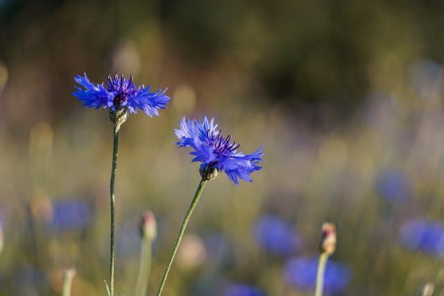 Flowers, Blue, Meadow, Cornflower, Centaurea