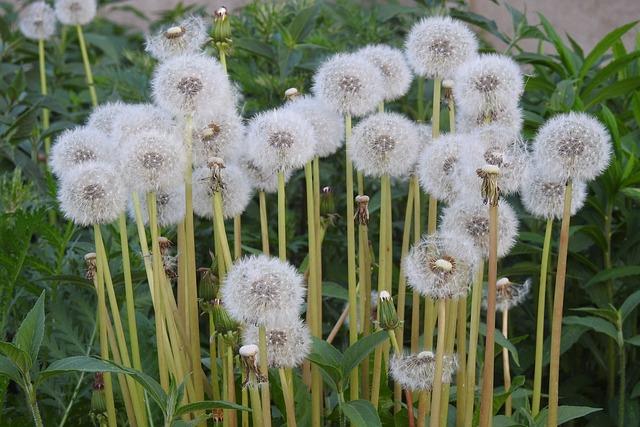 Sonchus Oleraceus, Dandelion, Spring, Flowers, Meadow