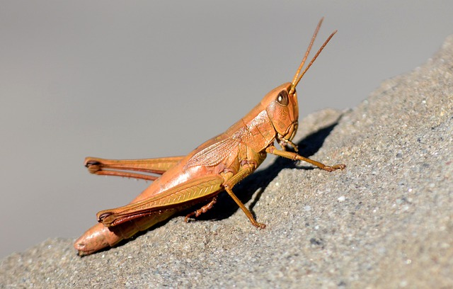 Grasshopper, Nature, Insect, Insects, Meadow Grass