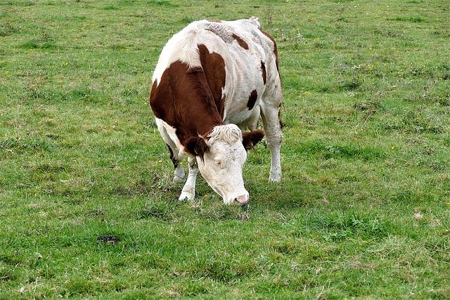 Cow, Grazing, Meadow, Milk Cow, Ruminant, Grazing Cow