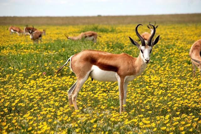 Antelope, Nature, Flowers, Meadow, Africa, Horns