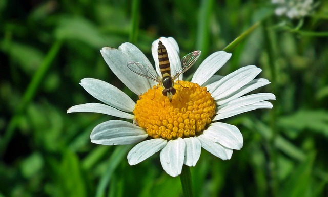 Nature, Summer, Plant, Flower, Daisy, Insect, Meadow