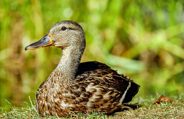 Duck, Water Bird, Lying, Meadow, Attention, Nature
