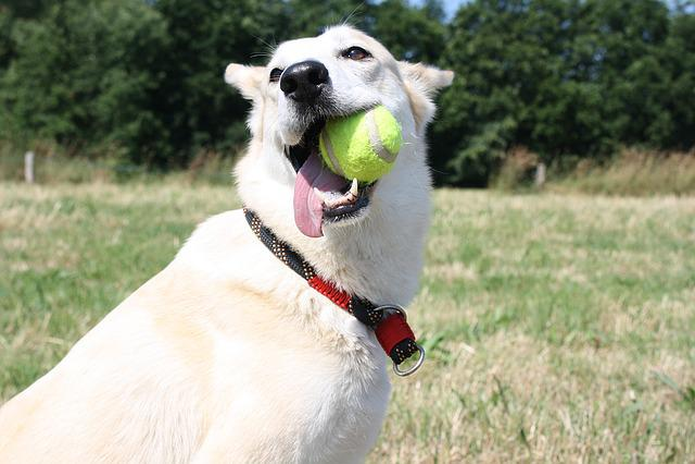Dog, Ball, Play, Fun, Summer, Meadow, Blanca