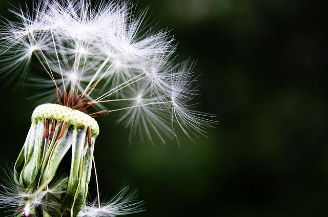 Dandelion, Seeds, Pointed Flower, Meadow, Nature