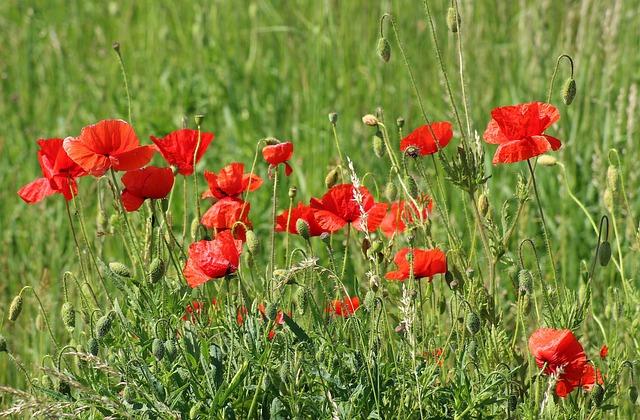 Poppies, Wildflowers, Meadow, Poppy Field