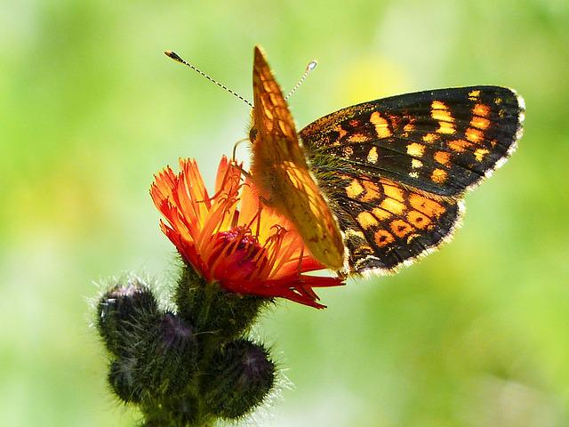 Hawk, Weed, Orange, Red, Wild Flower, Meadow, Close-up