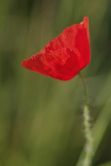 Poppy, Flower, Red, Single, The Petals, Macro, Meadow