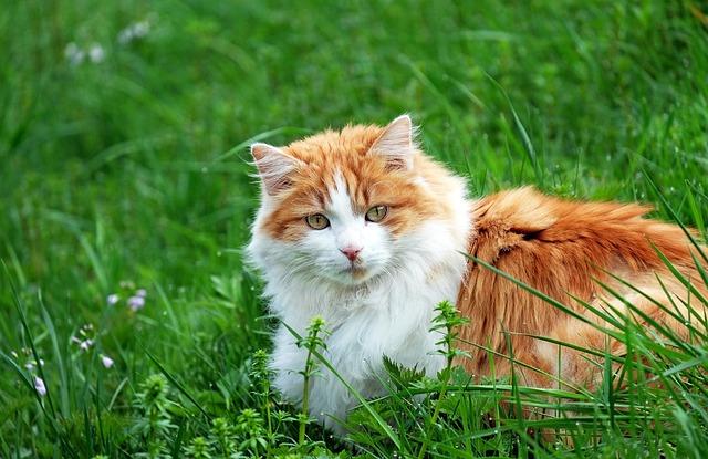 Cat, Red Tomcat, Mieze, Lying, Meadow