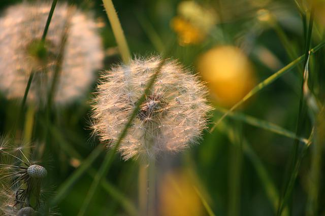 Dandelion, Seeds, Grass, Meadow