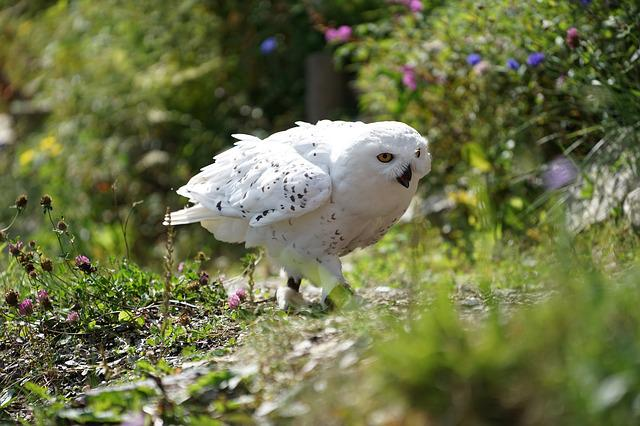 Owl, Snowy Owl, White, Bird Of Prey, Meadow