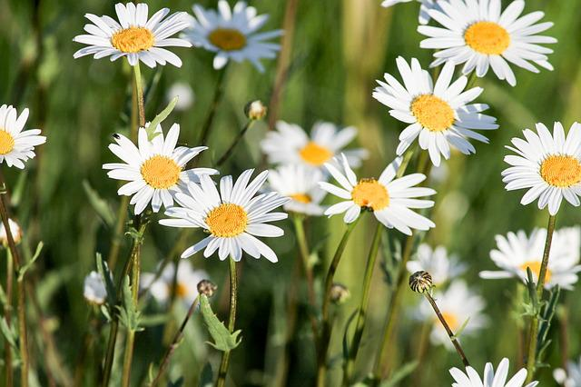 Daisy, Spring Meadow, Meadow, Spring, Nature