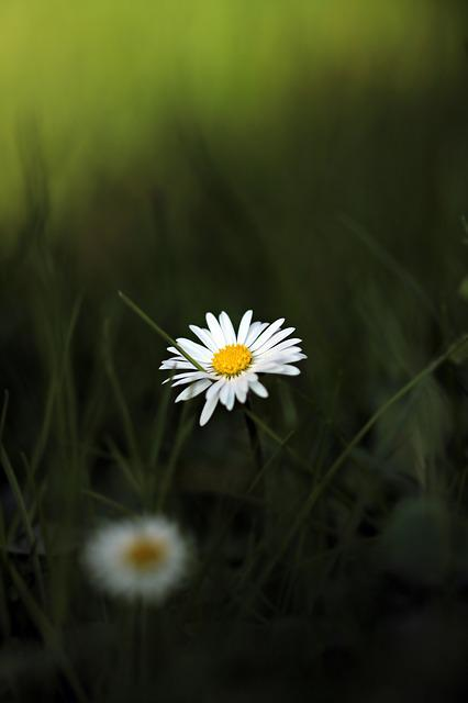Daisy, Pointed Flower, Flower, Meadow, Spring, Nature
