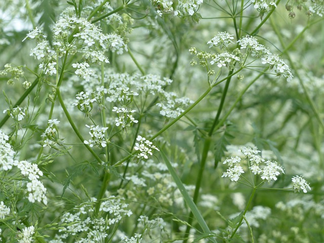 Cow Parsley, Blossom, Bloom, White, Meadow