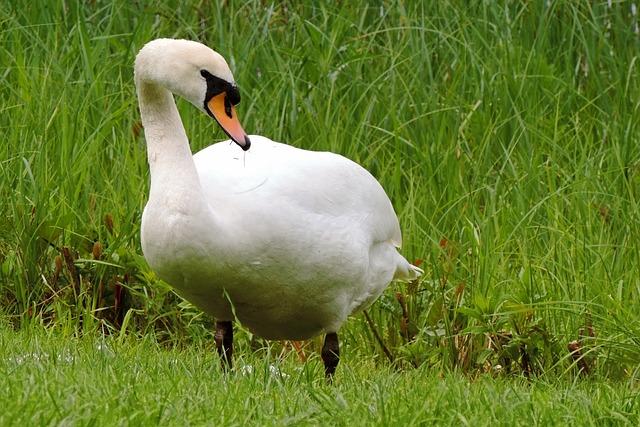 Swan, Mute Swan, White, Plumage, Meadow