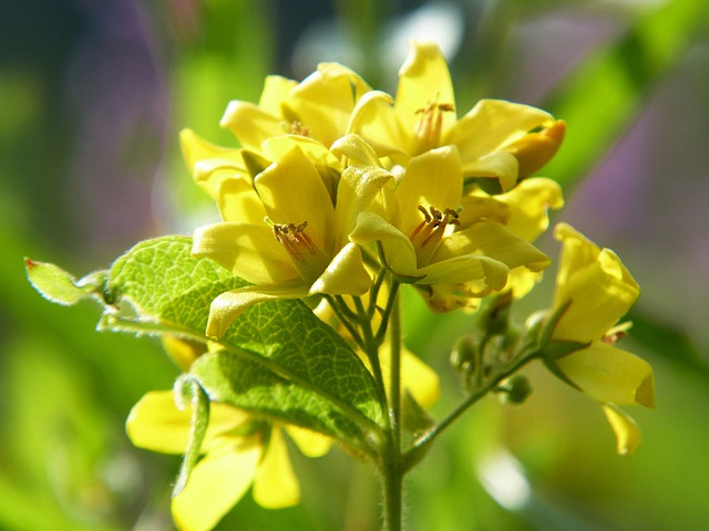 Loosestrife, Primrose, Wild Herb, Meadow Herbs, Meadow