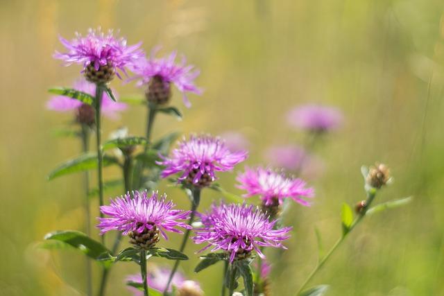 Meadow, Centaurea Jacea, Wildflower