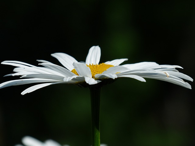 Flowers, White, Meadows Margerite, Leucanthemum Vulgare
