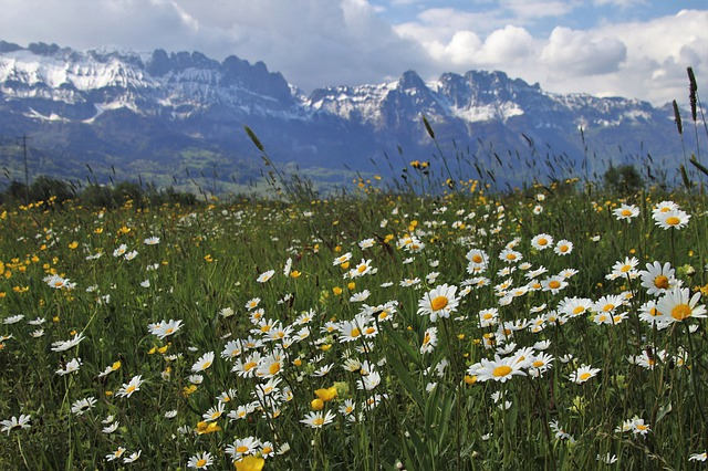 The Alps, Spring, Meadows, Mountains, Camomile, Grass