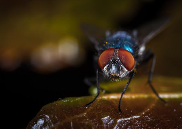 Insect, Fly, Animals, Nature, Meat Fly, Macro