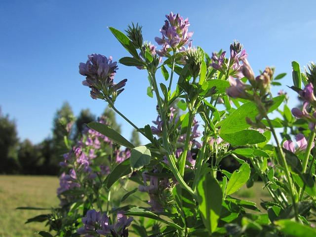 Medicago Satigo, Alfalfa, Lucerne, Plant, Wildflower