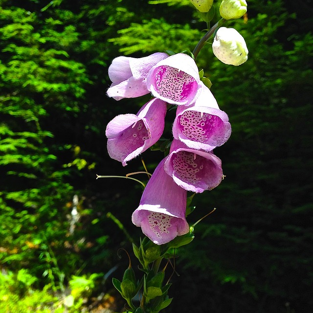 Foxglove, Flower, Digitalis, Plant, Medicinal, Nature