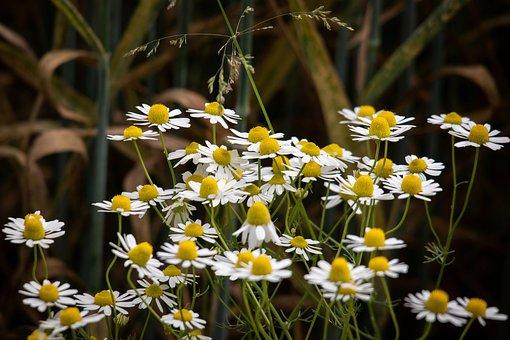 Chamomile, Flowers, Wild Flower, Medicinal Herb
