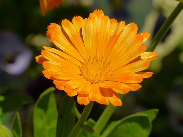 Marigold, Flower Meadow, Calendula, Medicinal Plant