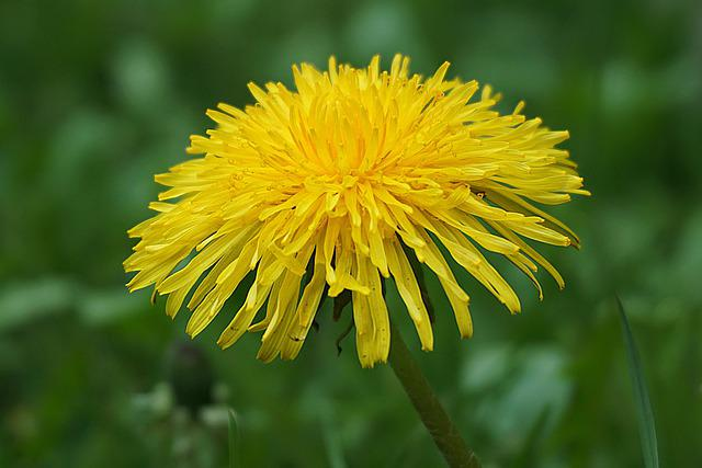 Dandelion, Medicinal Plants, Flowers, Spring, Yellow