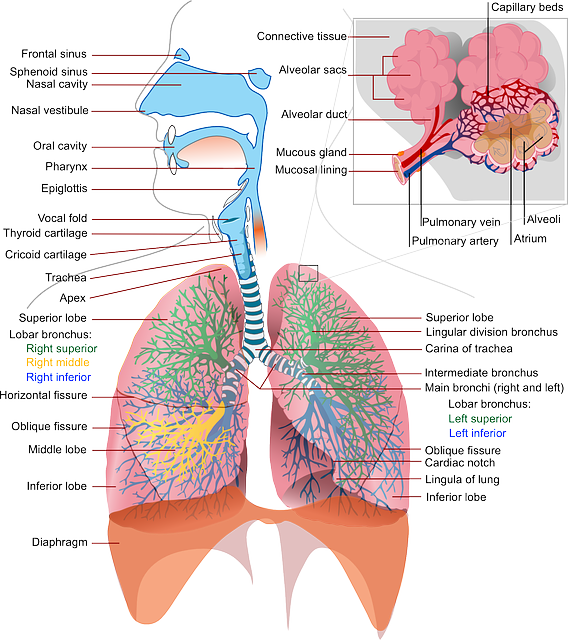 Health, Medicine, Anatomy, Lung, Labeled, Breathing