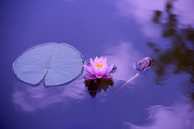 Lotus, Natural, Water, Meditation, Zen, Yoga