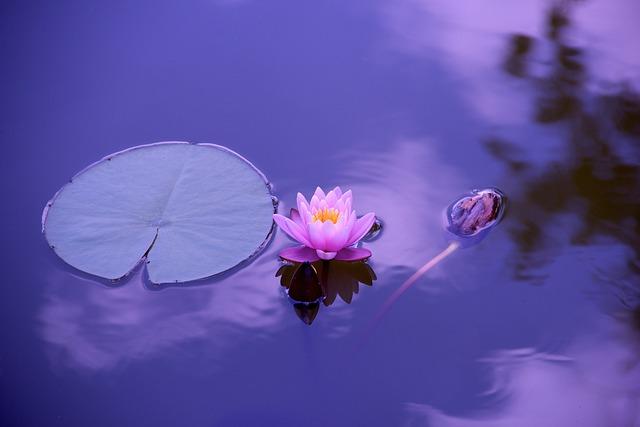 Lotus, Natural, Water, Meditation, Zen, Yoga