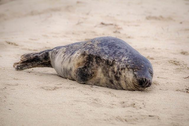 Seal, Robbe, Meeresbewohner, North Sea, Mammal