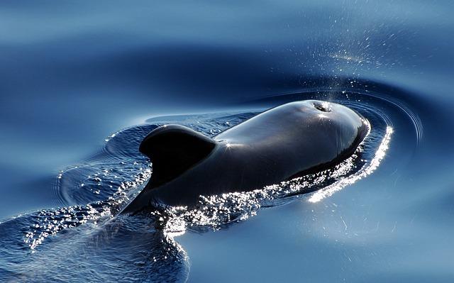 Wal, Marine Mammals, Pilot Whale, Meeresbewohner