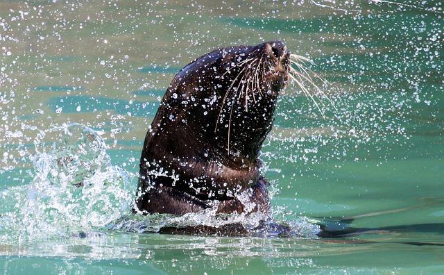 Seal, Swim, Splash, Water, Robbe, Meeresbewohner