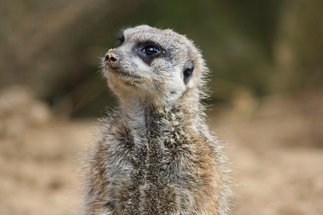 Animal, Zoo, Meerkat