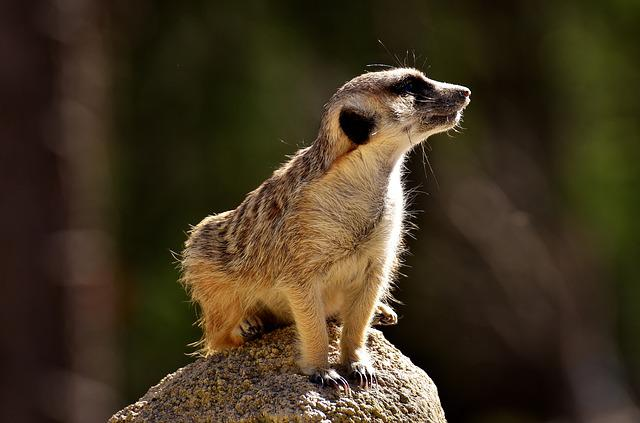 Meerkat, Cute, Curious, Animal, Nature, Mammal