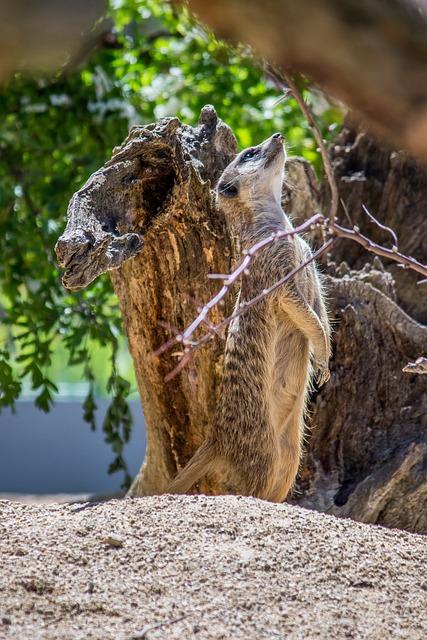 Nature, Animal World, Animal, Meerkat