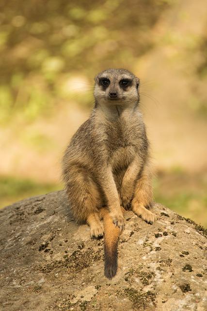 Animal World, Mammal, Animal, Nature, Cute, Meerkat