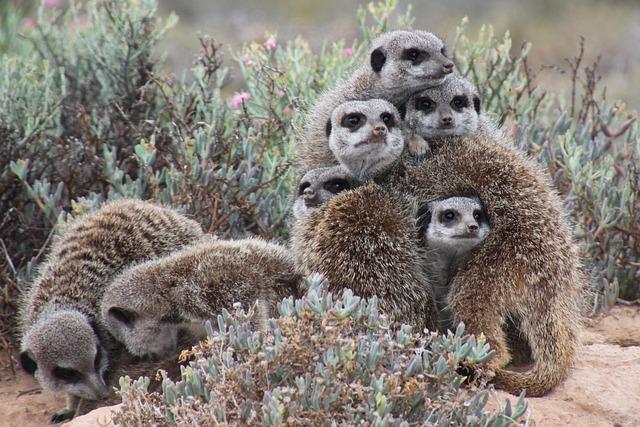 Nature, Meerkat, South Africa
