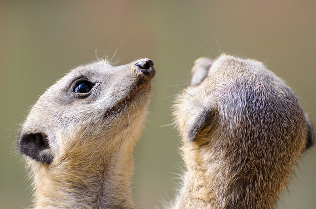 Meerkat, Fur, Small, Face, Mouth, Animal, Snout, Park